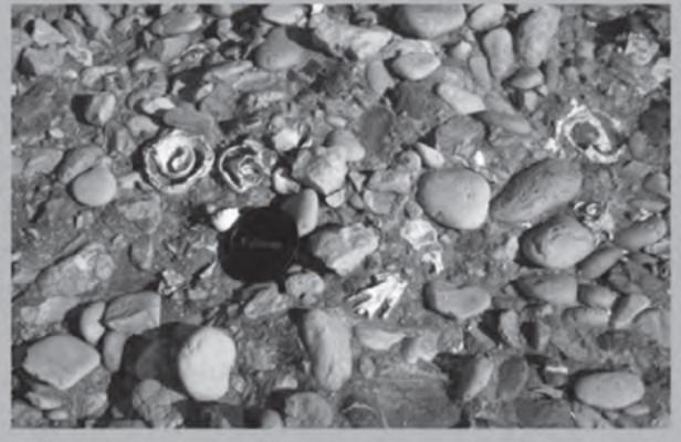 Λεπτομέρεια εμφάνισης Strombus bubonius στην Ακτή της Αρβανιτιάς. (Πρακτικά 5ου Συμποσίου Ελληνικής αρχαιομετρικής Εταιρείας , Αθήνα 2008)