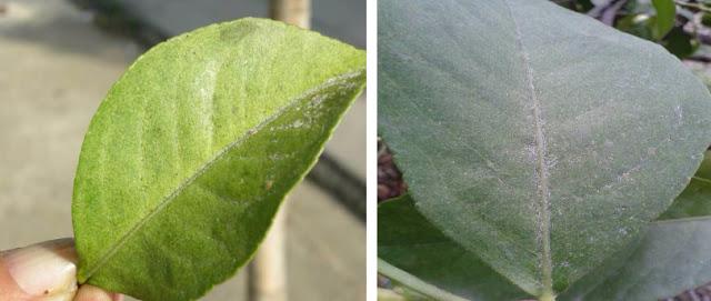 Ωοτοκίες και εκδύσεις κατά μήκος της κεντρικής νεύρωσης φύλλου λεμονιάς