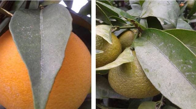 Ωοτοκίες και εκδύσεις κατά μήκος της κεντρικής και των πλευρικών νευρώσεων φύλλου πορτοκαλιάς και μανταρινιάς Κλημεντίνης